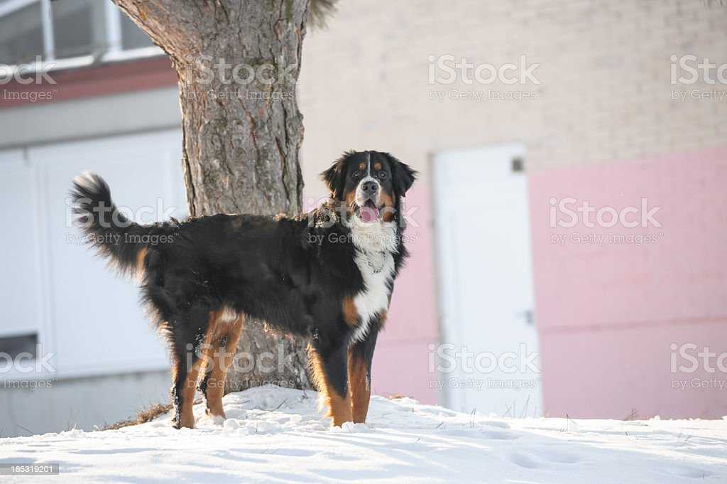 Bernese standing royalty-free stock photo