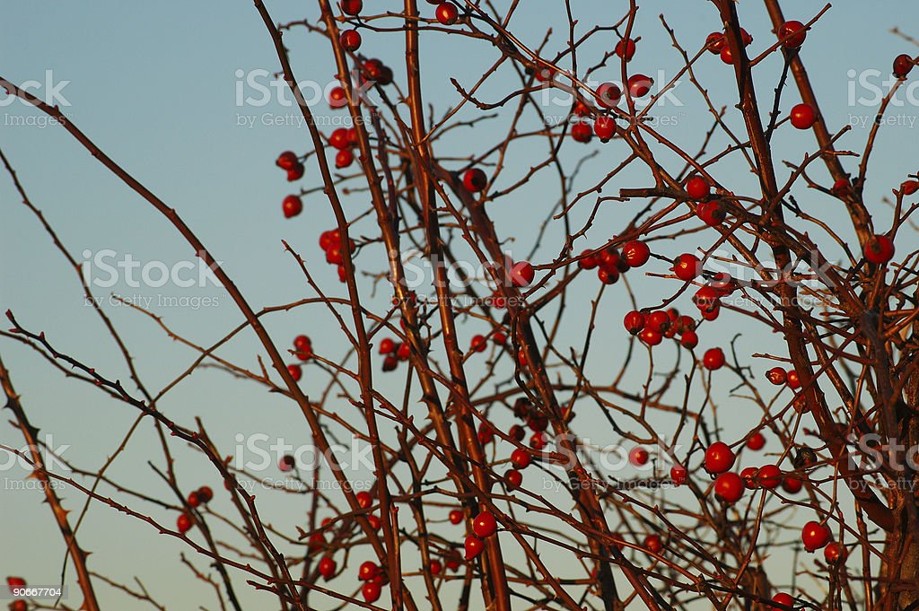Berries and Branches royalty-free stock photo