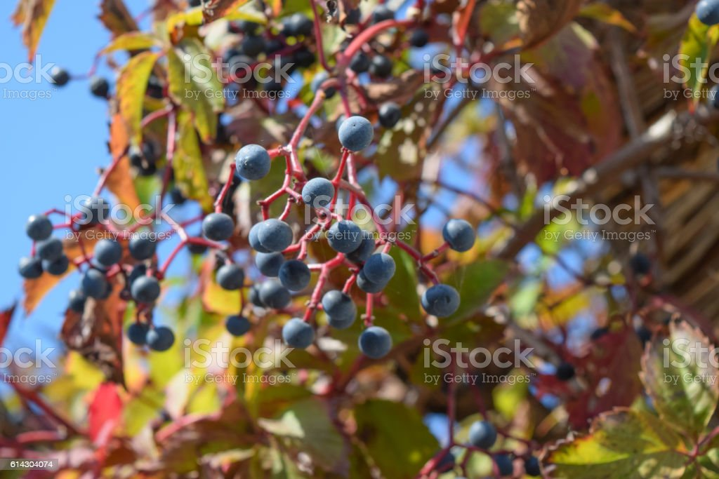 Berries are a Parthenocissus stock photo
