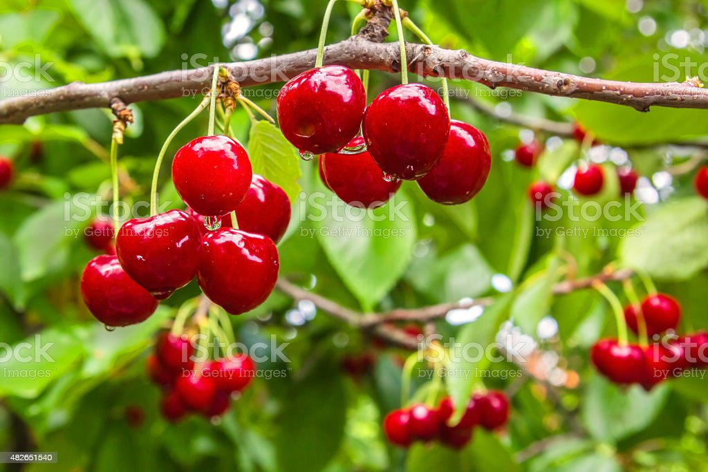 Berries cherries on a branch in the rain stock photo