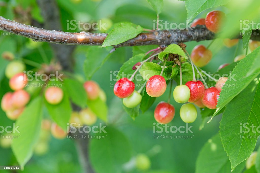 Berries cherries on a tree branch in the garden. stock photo
