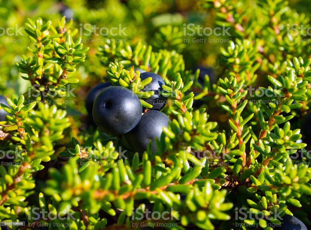 Berries crowberry black (The Latin name: Empetrum) stock photo