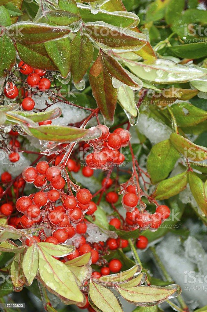 Berries in Winter stock photo