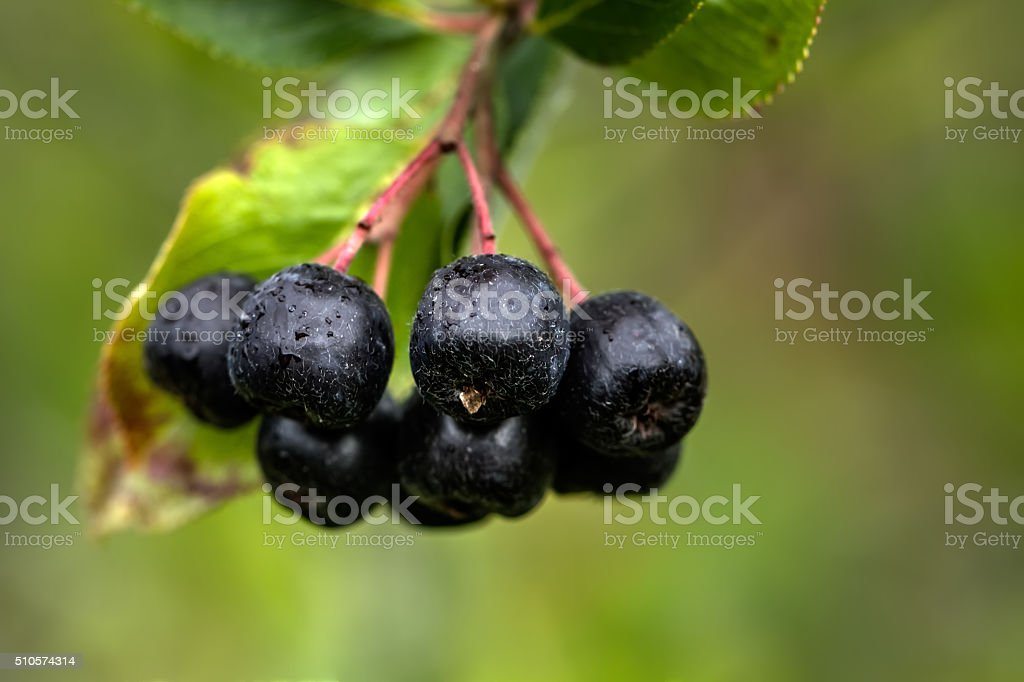 Berries of a chokeberry tree. stock photo