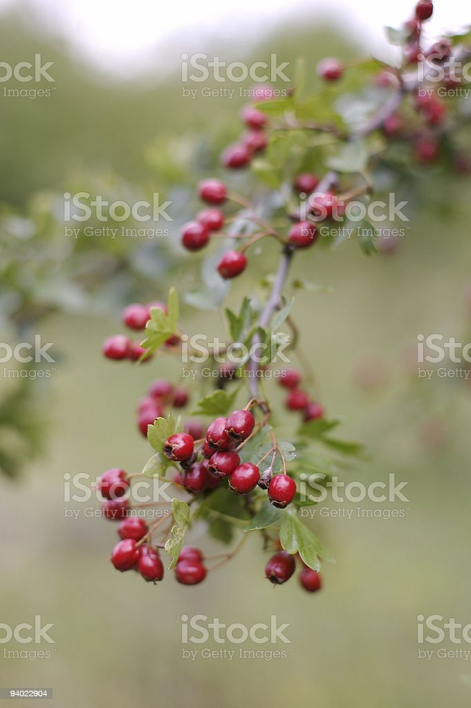 Berries of Common Hawthorn - Crataegus monogyna royalty-free stock photo