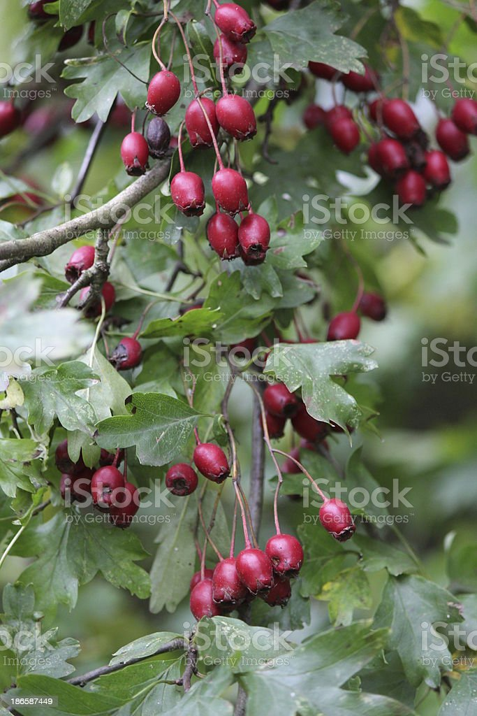 Berries of Common Hawthorn royalty-free stock photo