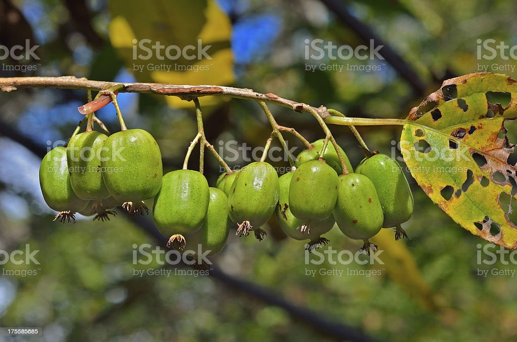 Berries of Far-East royalty-free stock photo