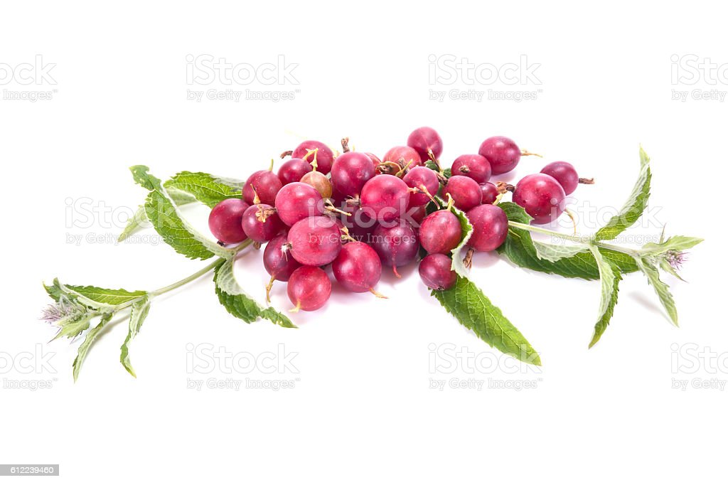 Berries of gooseberry blooming mint stock photo
