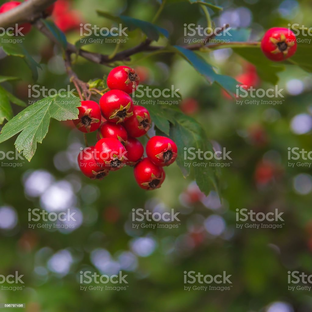 berries of hawthorn on a branch with green leaves stock photo