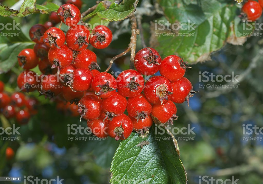Berries of hawthorn royalty-free stock photo