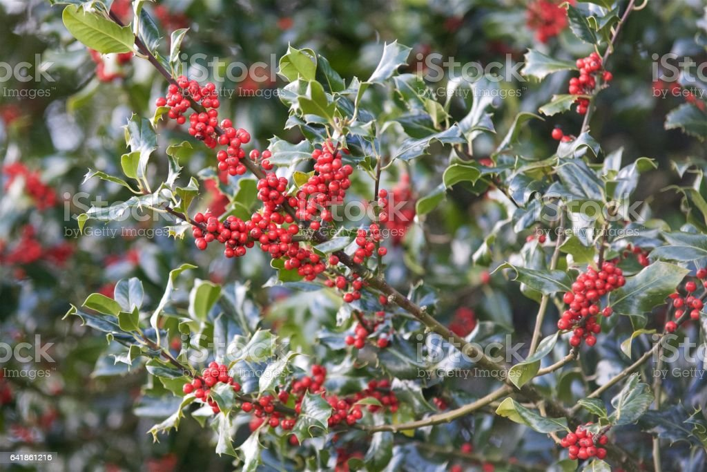 Berries of Holly stock photo