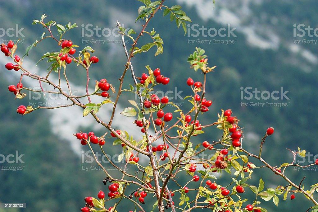 Berries of rosehip in autumn stock photo