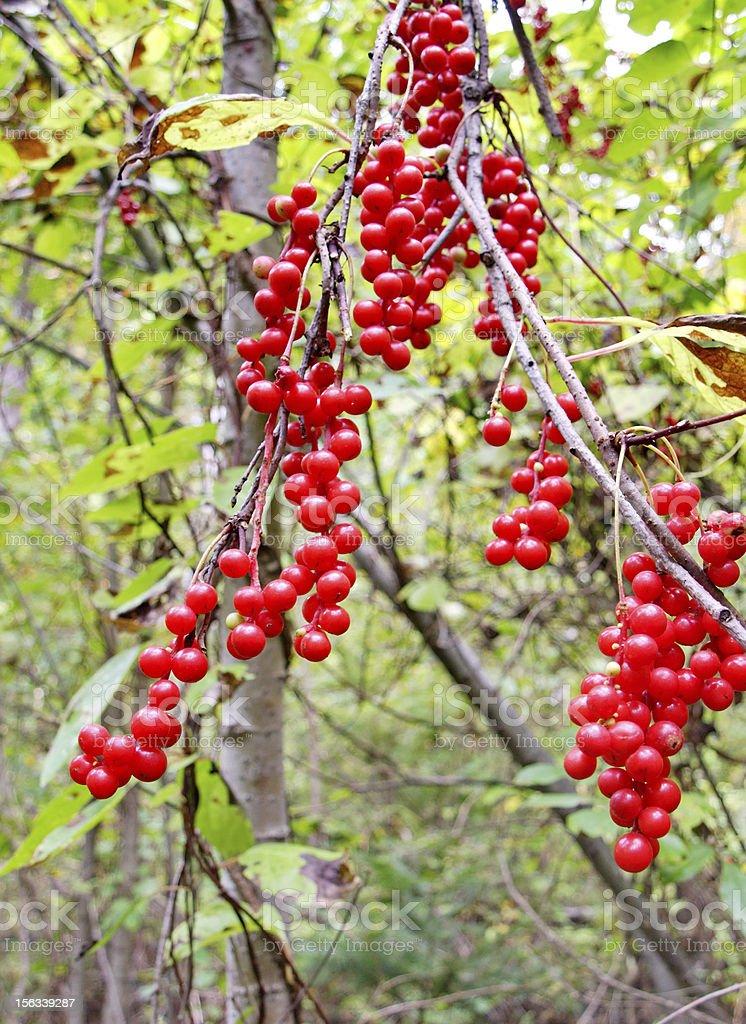 Berries of Schisandra Chinese royalty-free stock photo