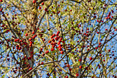 Berries on a hawthorn bush on autumn