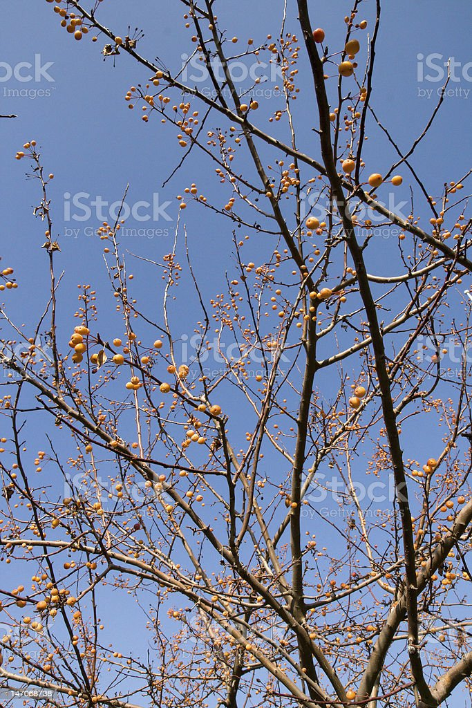 Berries on Tree royalty-free stock photo