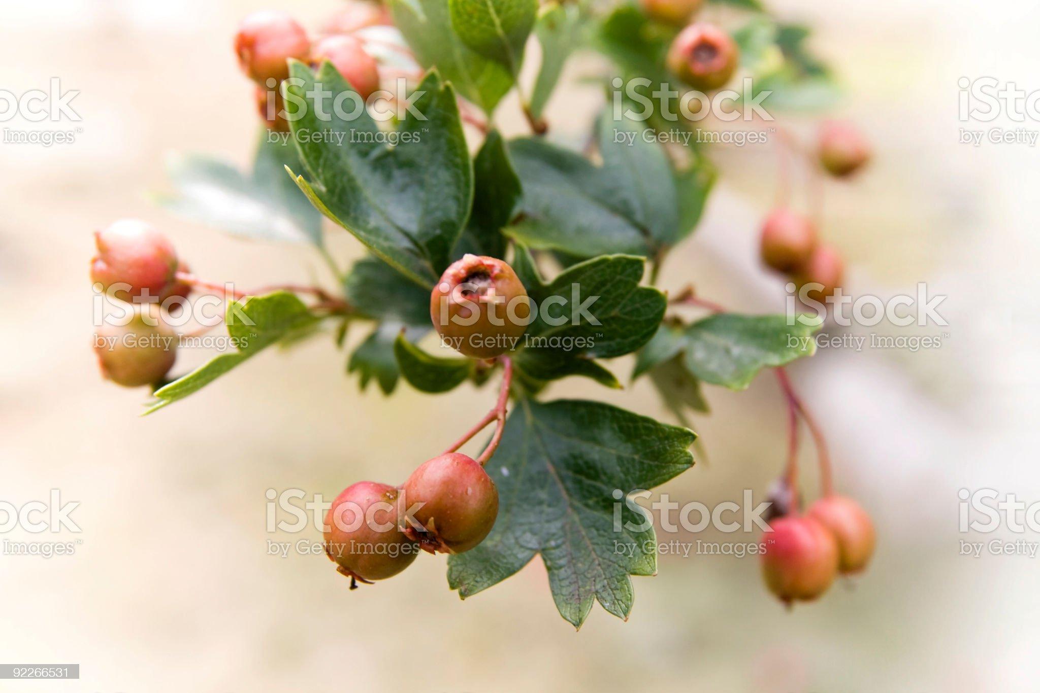 Berries royalty-free stock photo