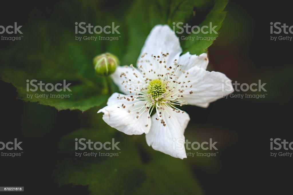 Berry Blossom stock photo