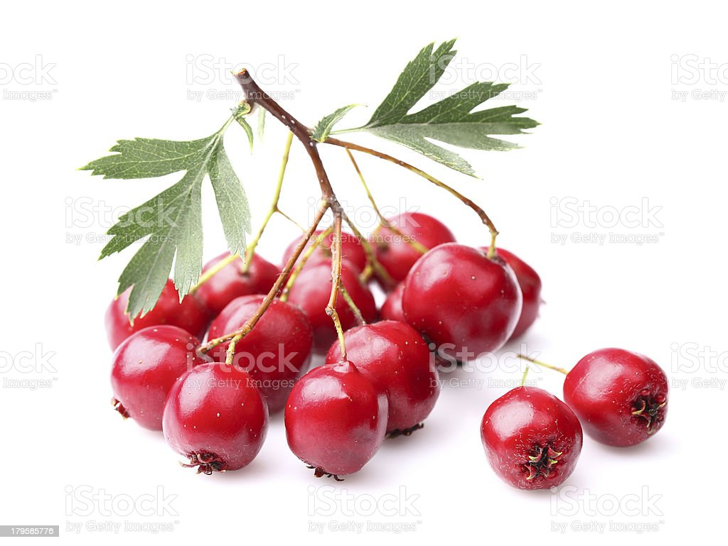 Berry of hawthorn royalty-free stock photo