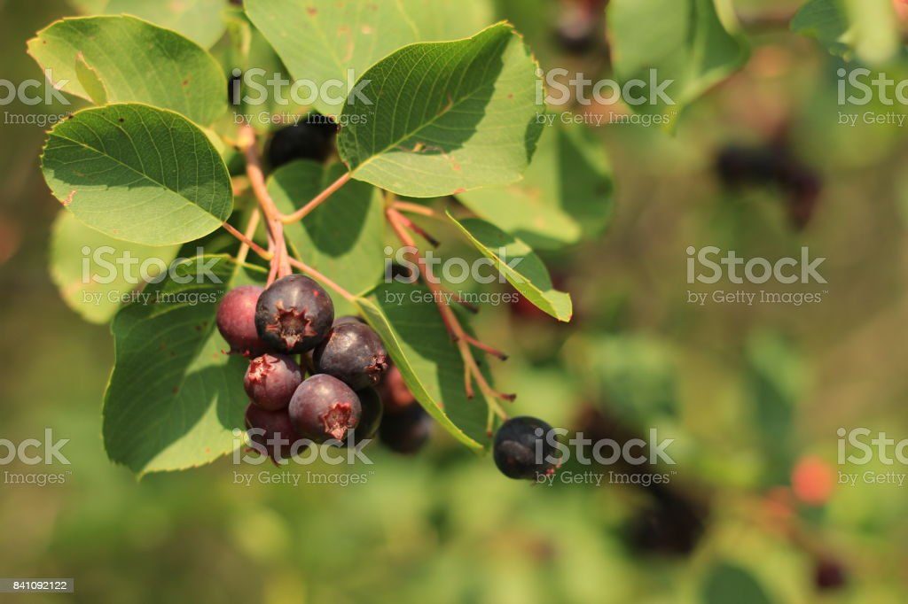 Berry on a branch stock photo