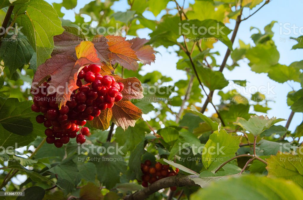 berry red leaves stock photo