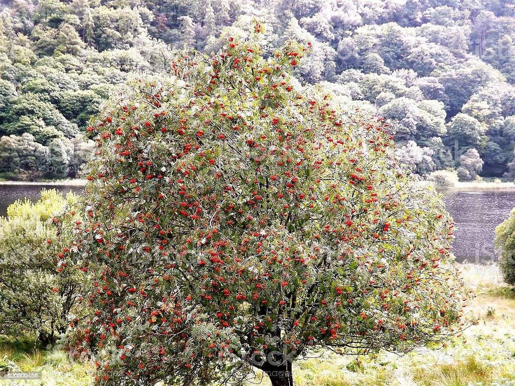 Berry Tree stock photo