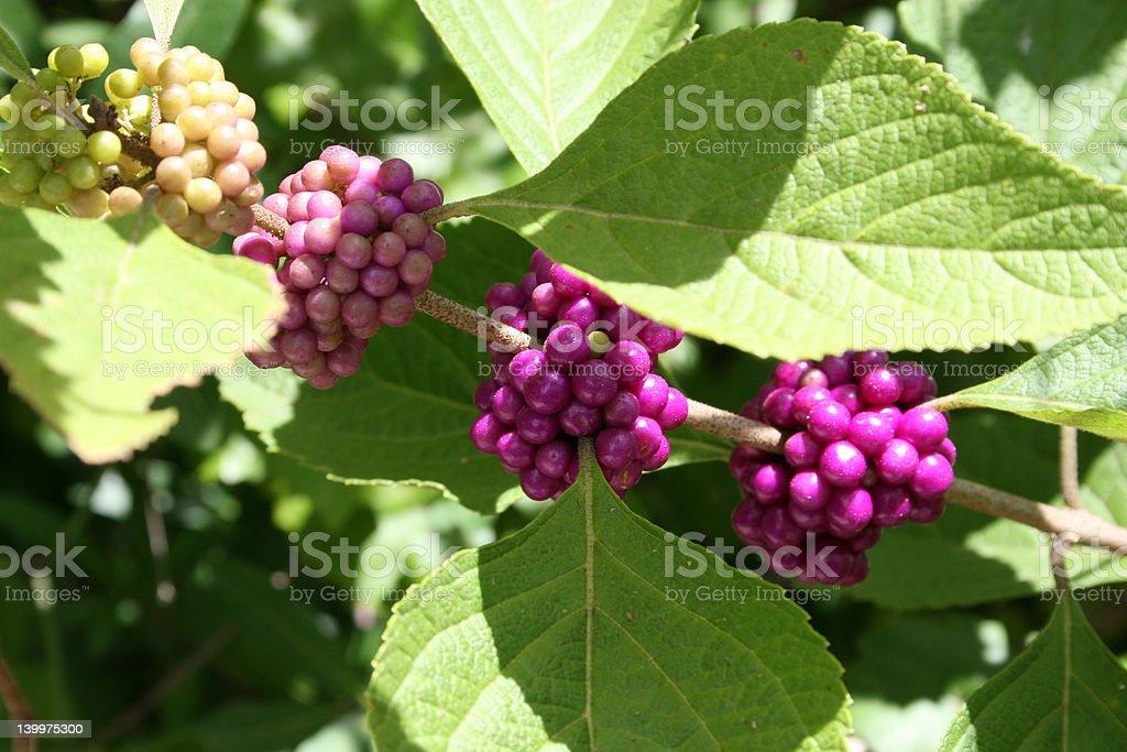 berrys on tree royalty-free stock photo
