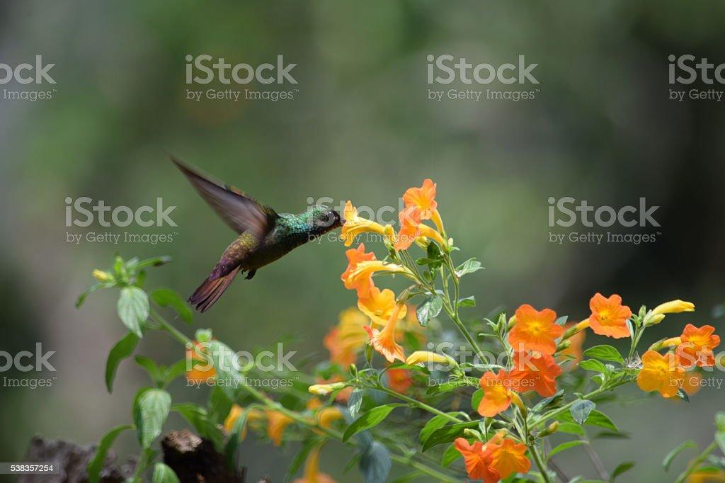 Berylline Hummingbird stock photo