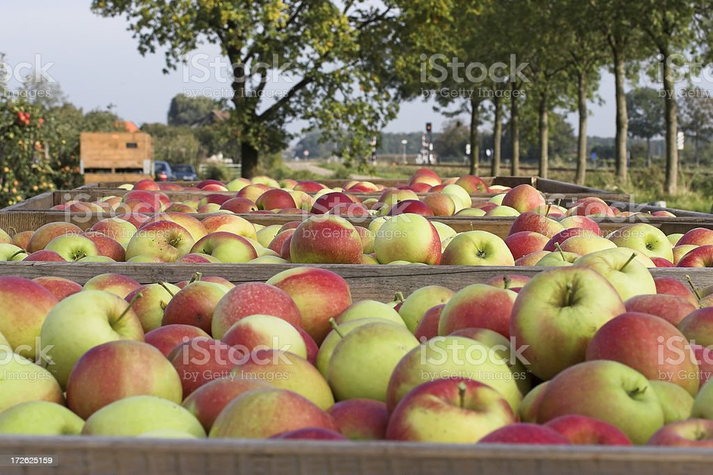 Best apples ever royalty-free stock photo