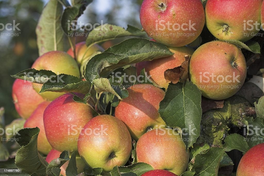 Best apples ever stock photo