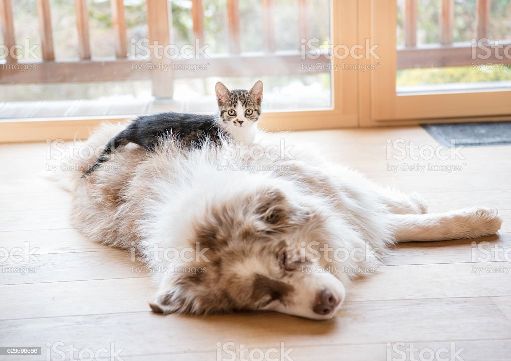 Best Friends, Cat and Dog together stock photo