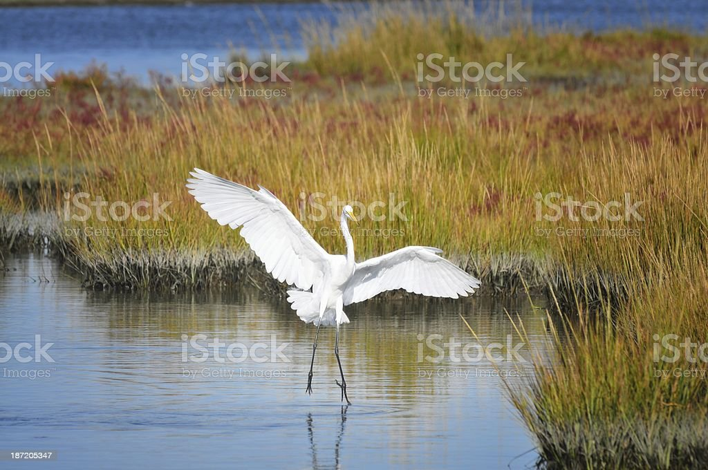 Best Great Egret Picture Ever royalty-free stock photo