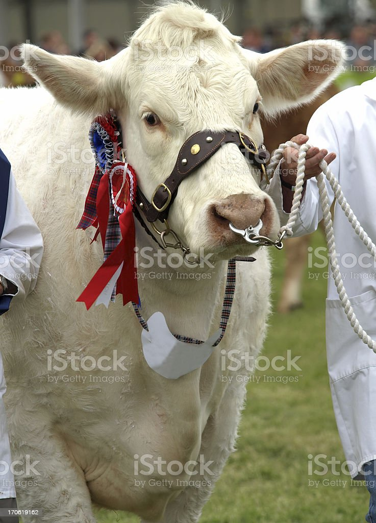 Best in Show royalty-free stock photo