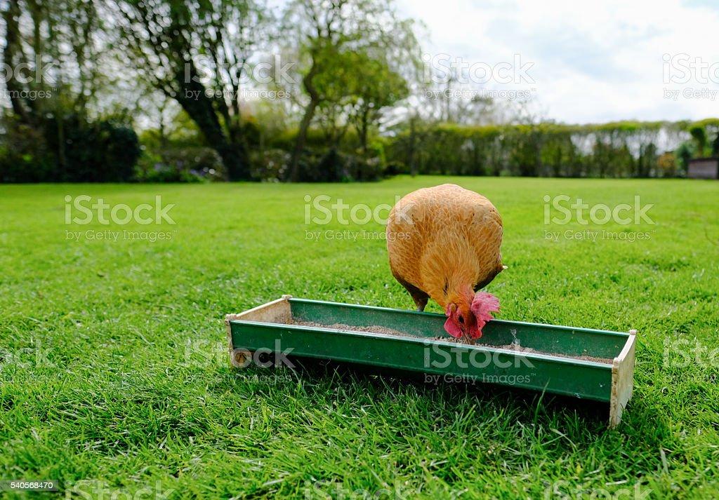 Best of show English bantam hen feeding stock photo