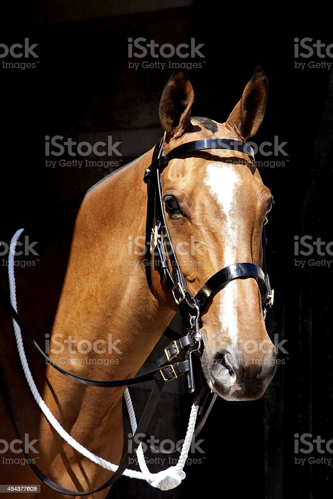 Besutiful chesnut horse royalty-free stock photo