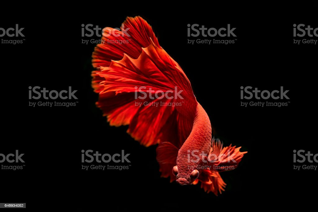 beta fish move on black background stock photo