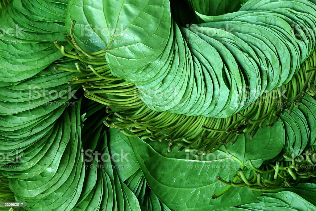 Betel leaf of Indian subcontinent stock photo