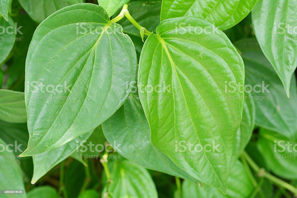 Betel leaves stock photo