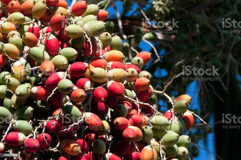 Betel nut royalty-free stock photo