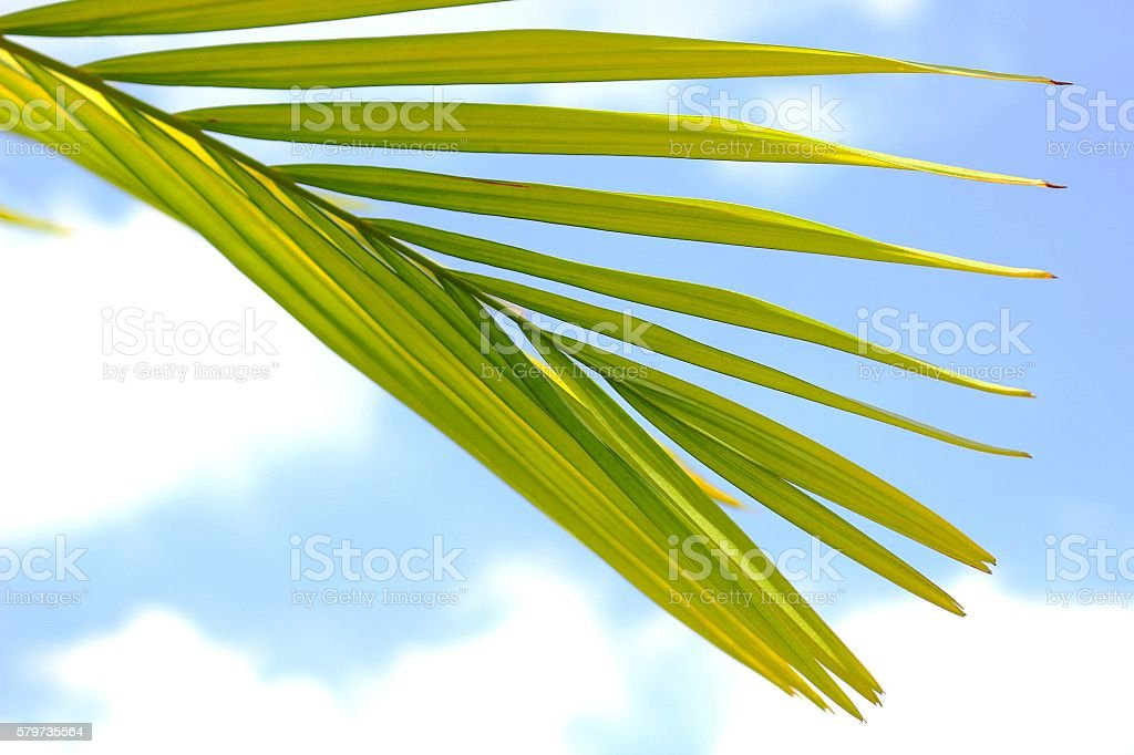 Betel palm leaf and blue sky stock photo