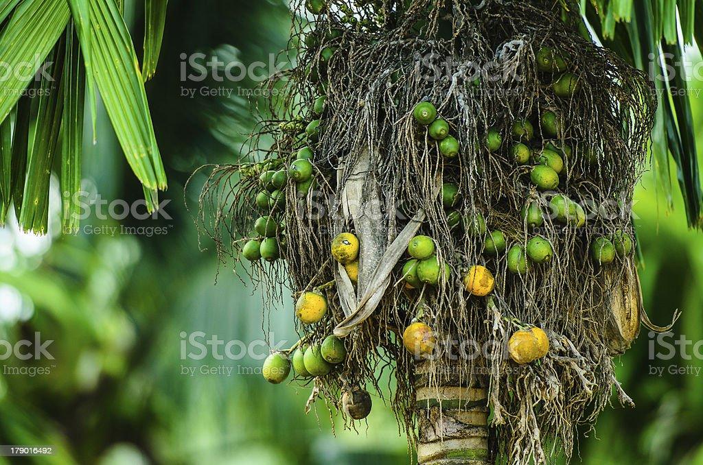 Betel palm. royalty-free stock photo