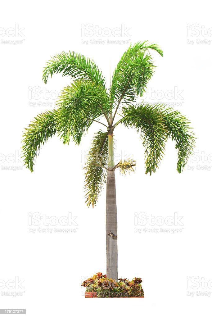 betel palm tree isolated on white royalty-free stock photo