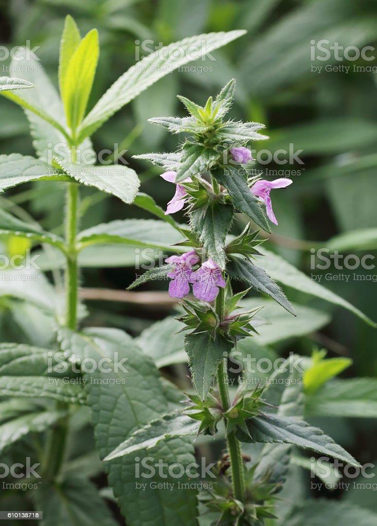 Betony (Stachys officinalis) stock photo