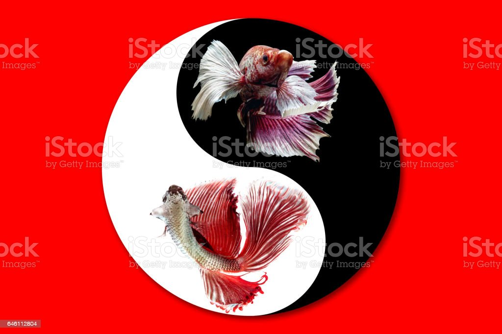 Betta fish in black and white of Yin and yang symbol on red background stock photo