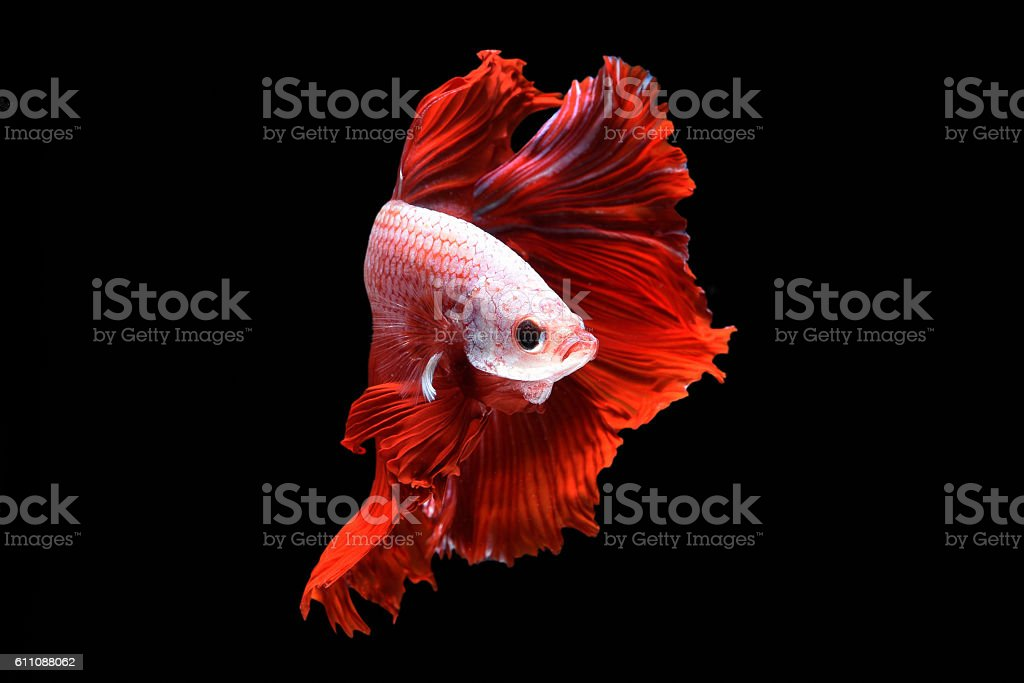 Betta fish in freedom action stock photo