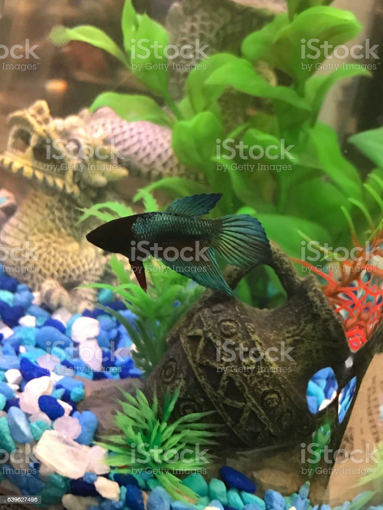 Freshwater fish for small tank - Betta Fish In Small Tank Royalty Free Stock Photo