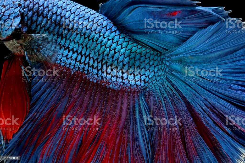 betta fish isolated on black background stock photo