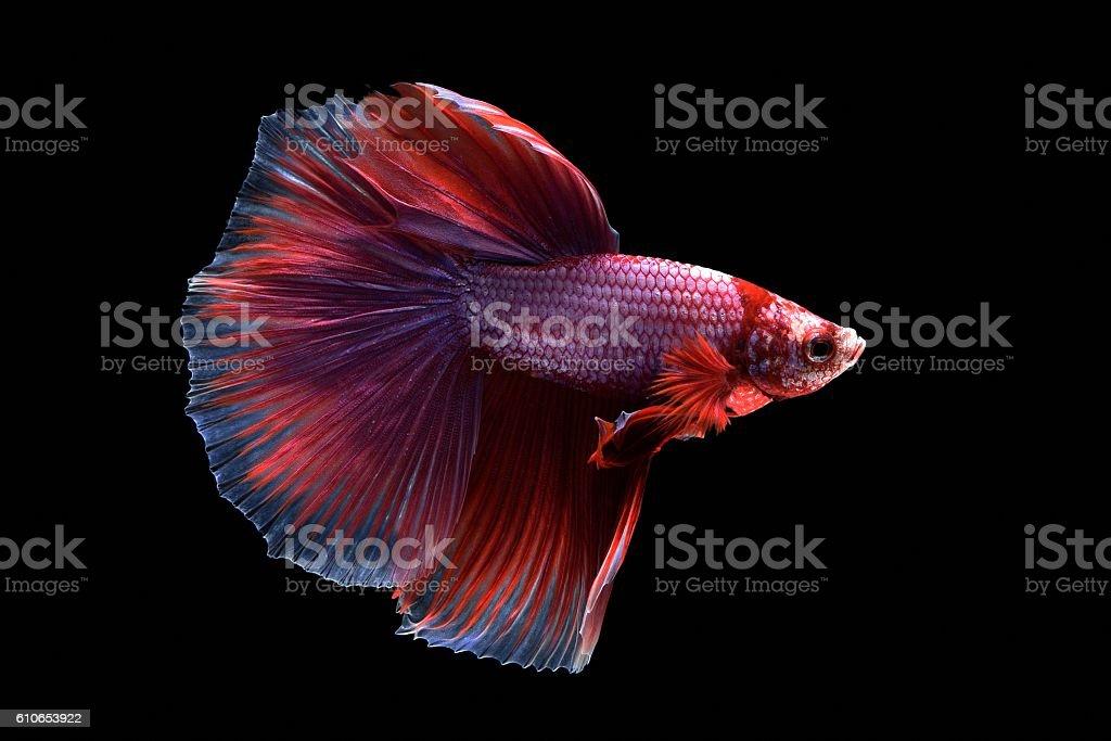 Betta fish or Siamese fighting fish on black background stock photo