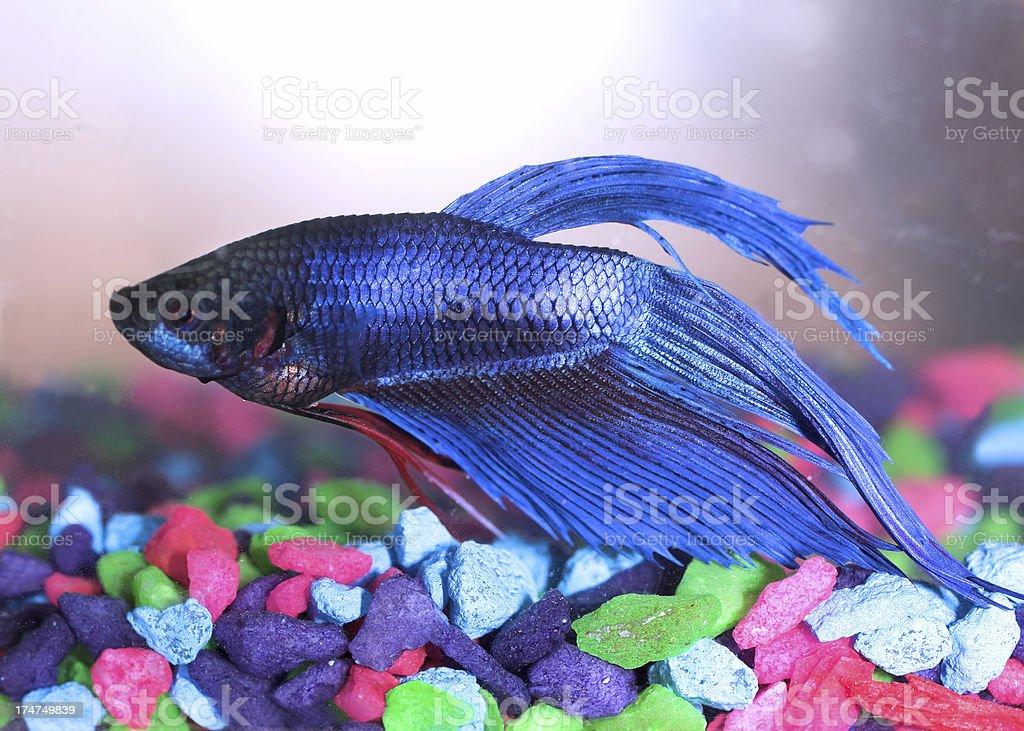 Betta Fish royalty-free stock photo