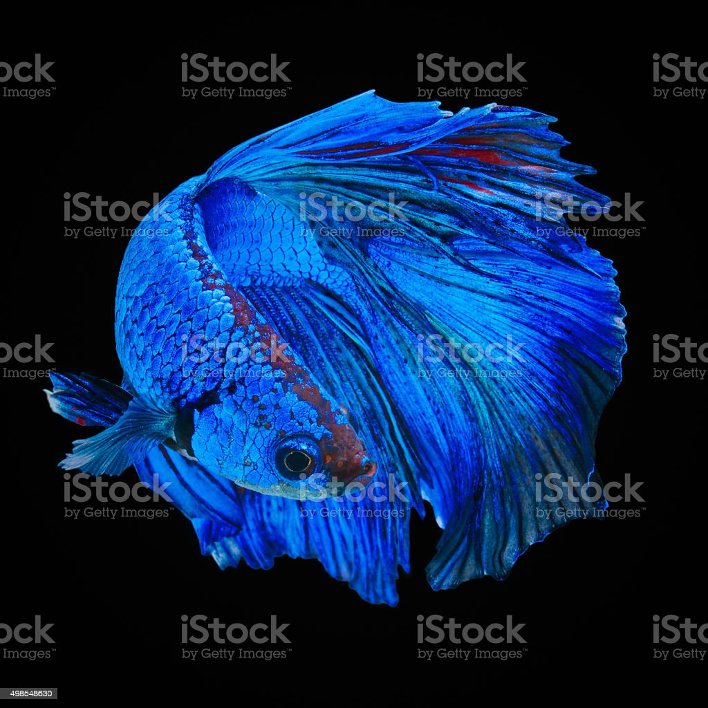 Betta fish stock photo