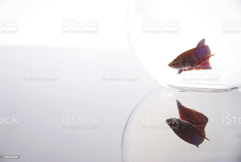 Betta Fish Reflection royalty-free stock photo